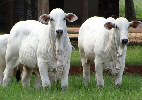 Progênie em vacas PO