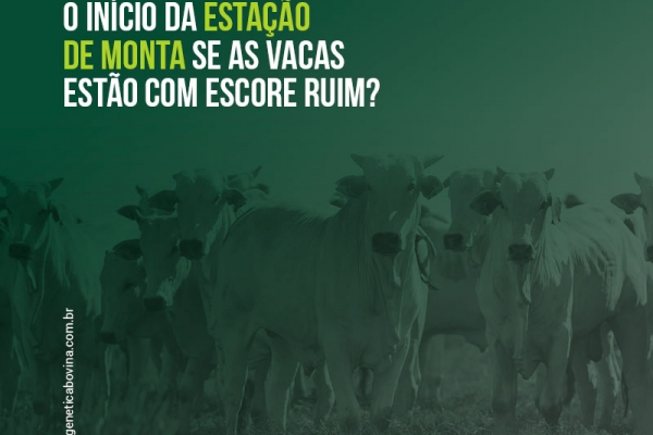 Vale a pena adiar o início da estação de monta se as vacas estão com escore corporal ruim?
